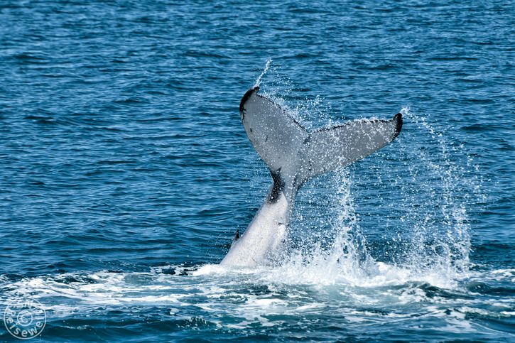 hervey_bay_whale_14.jpg