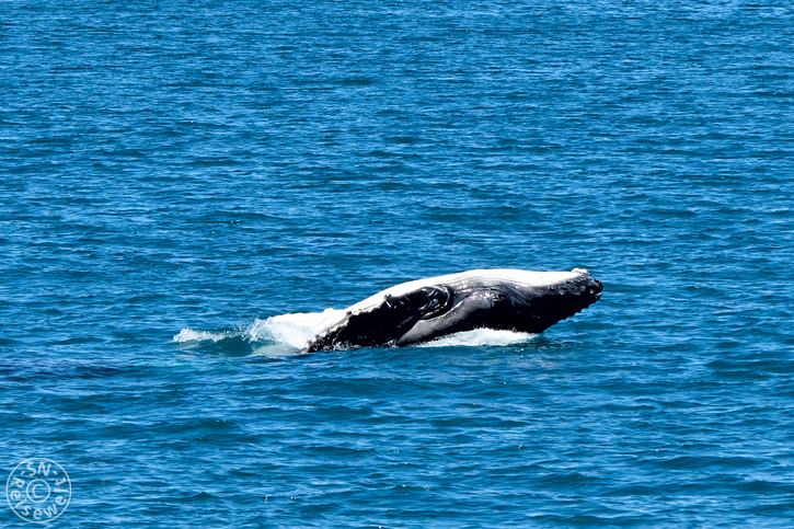 hervey_bay_whale_17.jpg