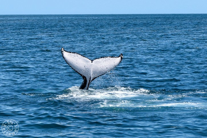 hervey_bay_whale_21.jpg