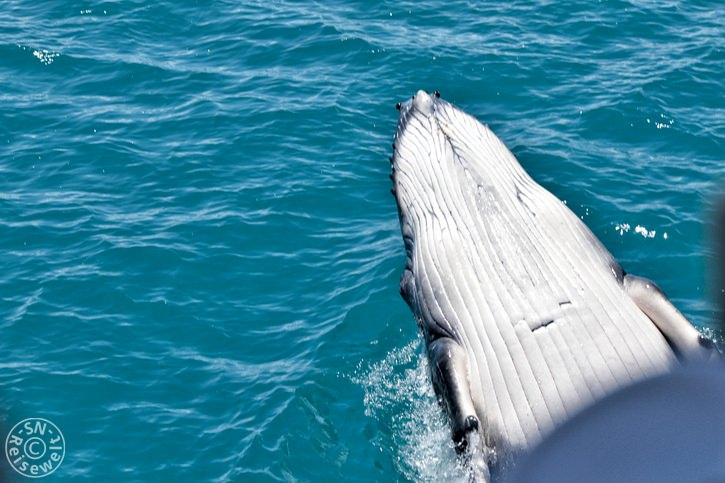 hervey_bay_whale_28.jpg