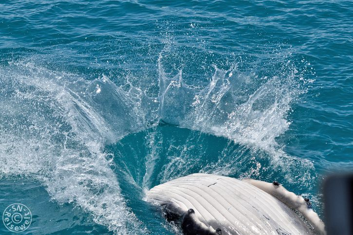 hervey_bay_whale_30.jpg
