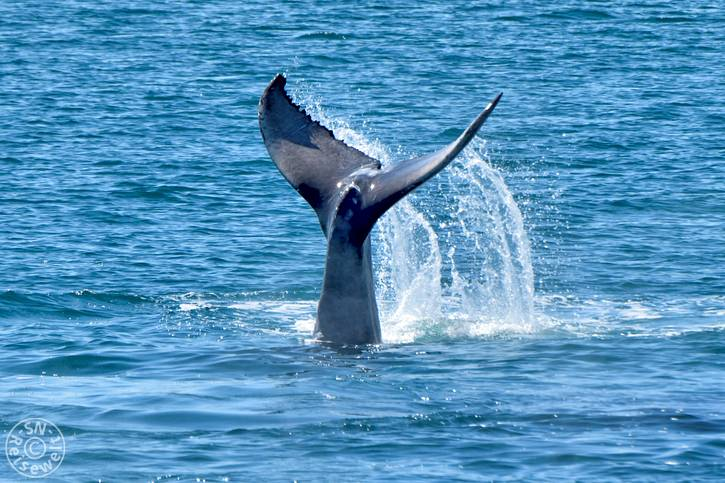 hervey_bay_whale_33.jpg