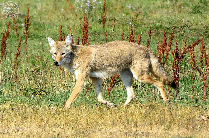 Coyote am Parkeingang