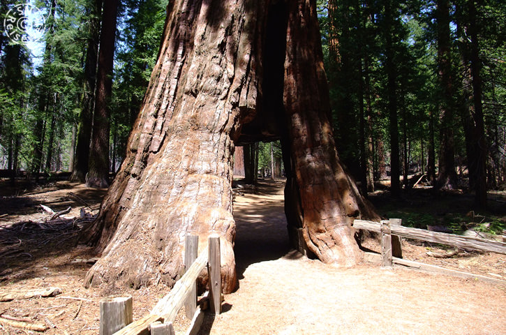 Tunnel Tree, Mariposa Grove