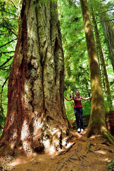 Douglasfichte, Cathedral Grove